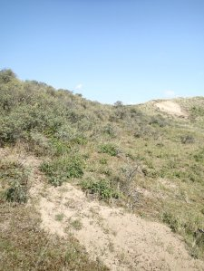 Scrubland on the dunes near Castricum