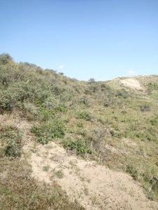 Scrubland on the dunes near Castricum