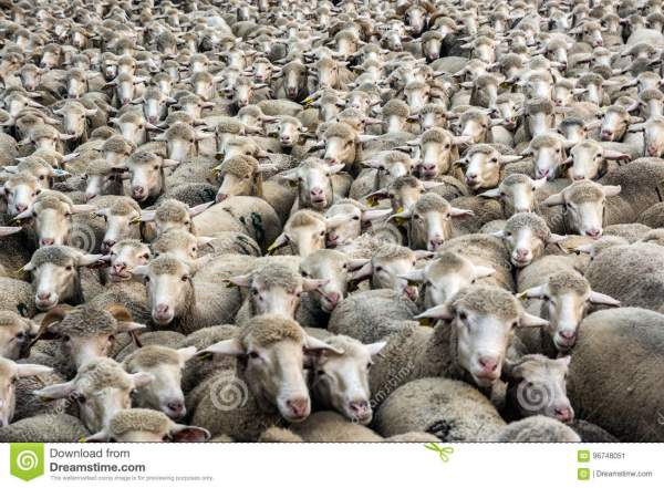 thousands-sheep-merino-huddled-together-96748051